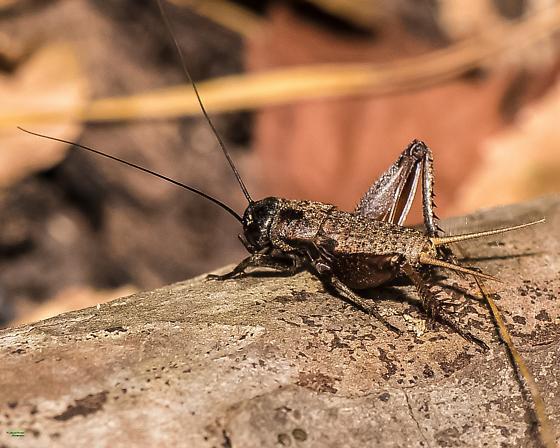 Cricket genus/species? - Gryllus - male