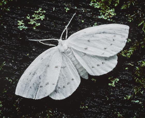 Eudeilinia herminiata - female
