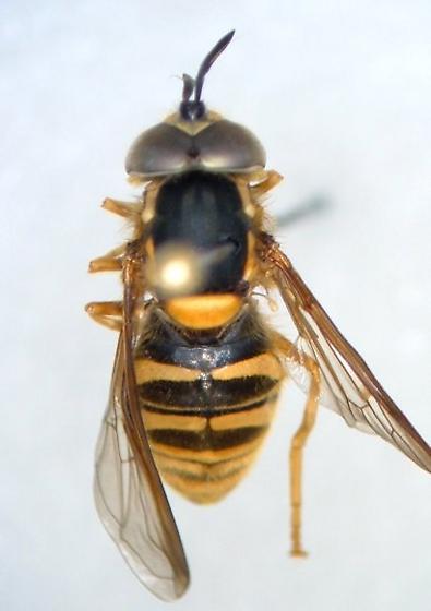 Chrysotoxum perplexum - male