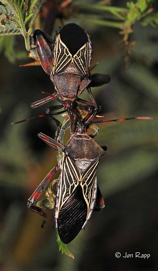 Giant Mesquite Bug - Thasus neocalifornicus - Thasus neocalifornicus