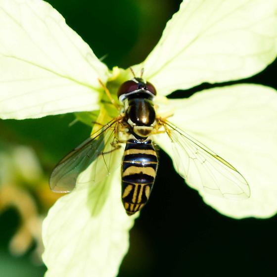 Unknown Diptera - Allograpta obliqua