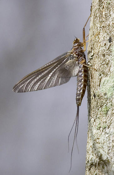 Mayfly in West Virginia - Leptophlebia