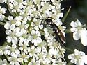Bethylid wasp
