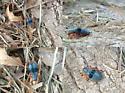 Blue Beetle - Chariessa vestita