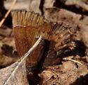 Callophrys henrici (Henry's Elfin) - Callophrys henrici