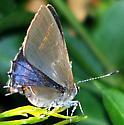 Calycopis isobeon
