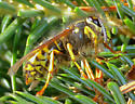 Yellowjacket - Dolichovespula arenaria