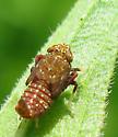 Japanese Leafhopper nymph - Orientus ishidae