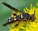Leucospis affinis leucospid wasp - Leucospis affinis