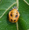 Tiny Bug on Oak Leaf - Harmonia axyridis