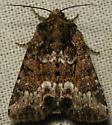 marbled minor - Oligia strigilis