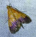 Pyrausta bicoloralis- Bicolored Pyrausta - Pyrausta bicoloralis