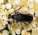 Flower Longhorn - Anoplodera pubera