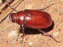Scarab-like beetle at Bryce - Diplotaxis
