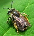 Bee - Andrena wilkella