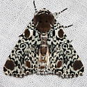 Harris's Three-spot Moth - Harrisimemna trisignata