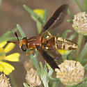 At first glimpse, thought it was a Mydid :-) - Hermetia comstocki - female
