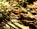 Blue-faced meadowhawk dragonfly - Sympetrum ambiguum