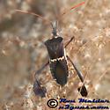 Leaffooted Bug - Leptoglossus zonatus