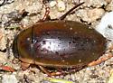 Predacious Diving Beetle - Dytiscus fasciventris - male
