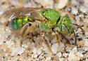 Augochloropsis? - Agapostemon sericeus - female
