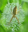Argiope - Argiope aurantia - female