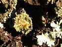 Lichen-ed larva (ventral) - Leucochrysa pavida