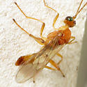 Small Hymenopteran - Meteorus