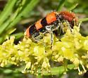 Trichodes bibalteatus Checkered Beetle  - Trichodes bibalteatus