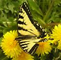 Canadian Tiger Swallowtail, 1:57pm - Papilio canadensis - male