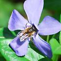 Bee on Purple Flower - Osmia taurus