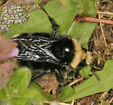 large bumble bee - Bombus