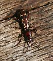beetle - Arrhenodes minutus