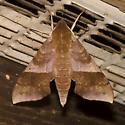 Azalea Sphinx Moth - Darapsa choerilus