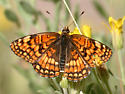 Northern Checkerspot - Chlosyne palla - male