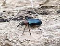 Oulema melanopus - Cereal Leaf Beetle? - Oulema melanopus
