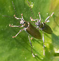 leaf beetle – genus Donacia? - Donacia - male - female