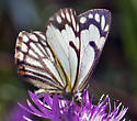 Pine White - Neophasia menapia - female