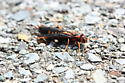 Some kind of wasp possibly?  - Tremex columba