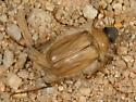 Phobetus sp. - Phobetus mojavus