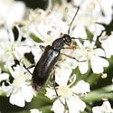 Flower Longhorn - Grammoptera subargentata
