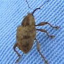 Blotchy brown weevil - Curculio