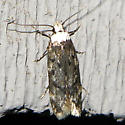 White-headed Moth - Endrosis sarcitrella