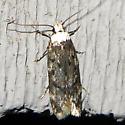 White-headed Moth - Endrosis sarcitrella