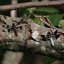 Common Whitetail, Female & Male - Plathemis lydia - male - female