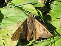 Moth ID? - Epargyreus clarus