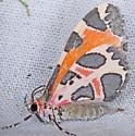 Moth, lateral - Stamnodes deceptiva
