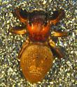 E. proszynskii female - Evarcha proszynskii - female