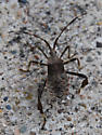unknown - Acanthocephala terminalis