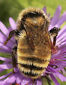 Bombus on Aster - Bombus borealis - male